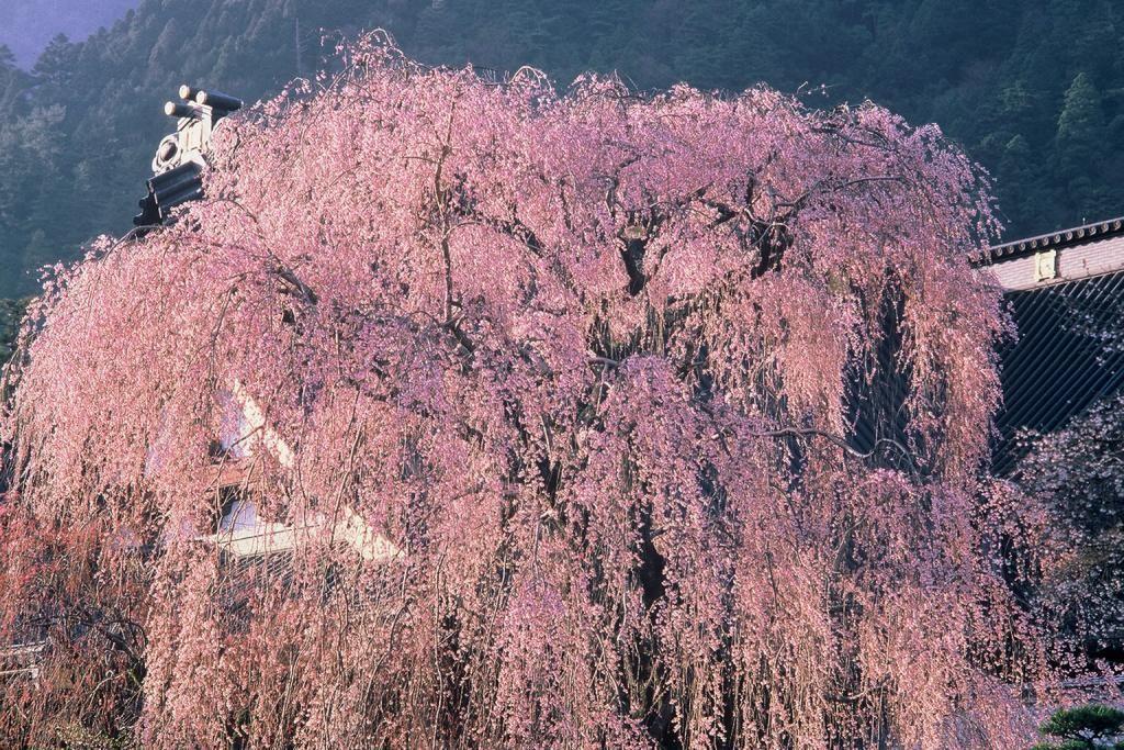 流れ落ちる樹齢400年のしだれ桜!山梨・身延山久遠寺