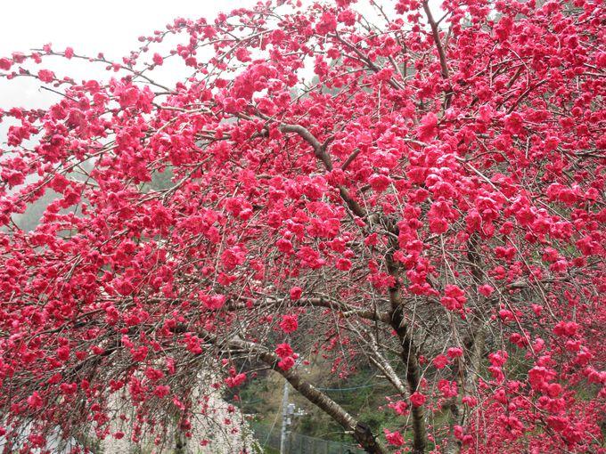 桜の季節はシャトルバスで!