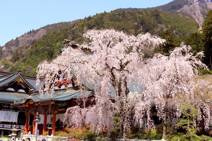 樹齢400年の桜咲く!