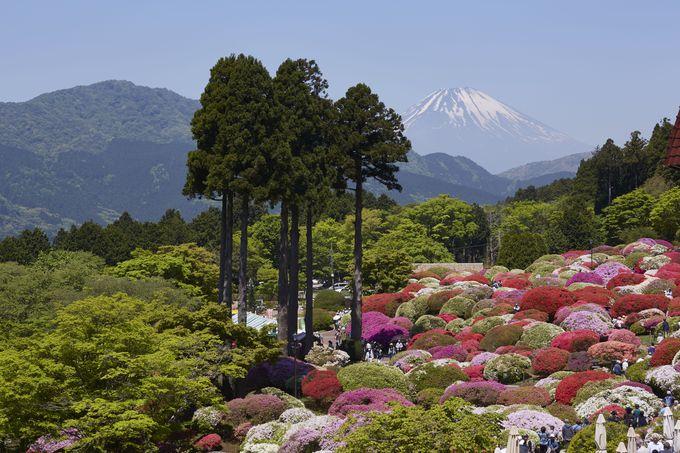 まるで絵画のよう!つつじ、富士山、杉の三点セット