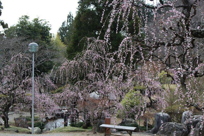 「花の奥山高原」はしだれ梅が綺麗。あじさいやハナモモも!