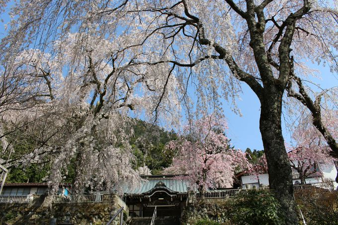 300年超えの桜も!