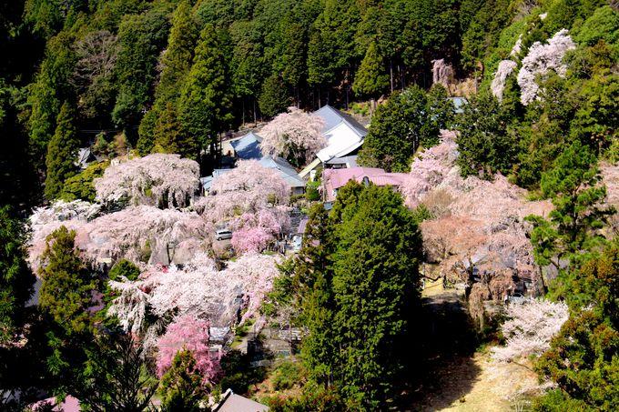 久遠寺から眺めおろす桜