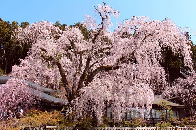 久遠寺のしだれ桜は樹齢400年!
