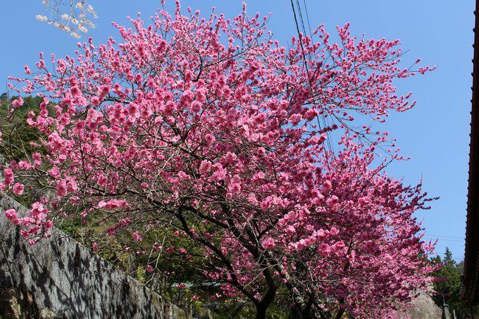 「幽玄なるしだれ桜の里」