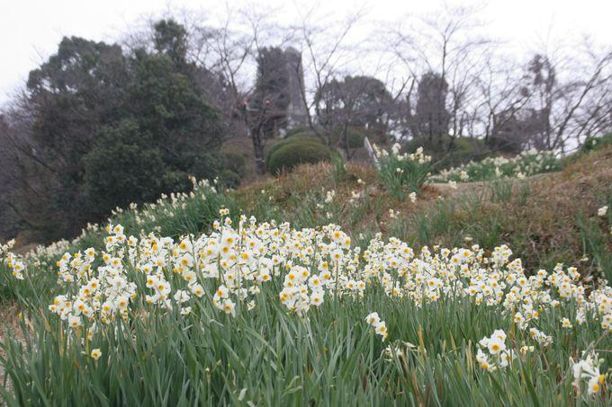 冬には、約5万本の水仙が咲き乱れる「スイセンの丘」も素晴らしい