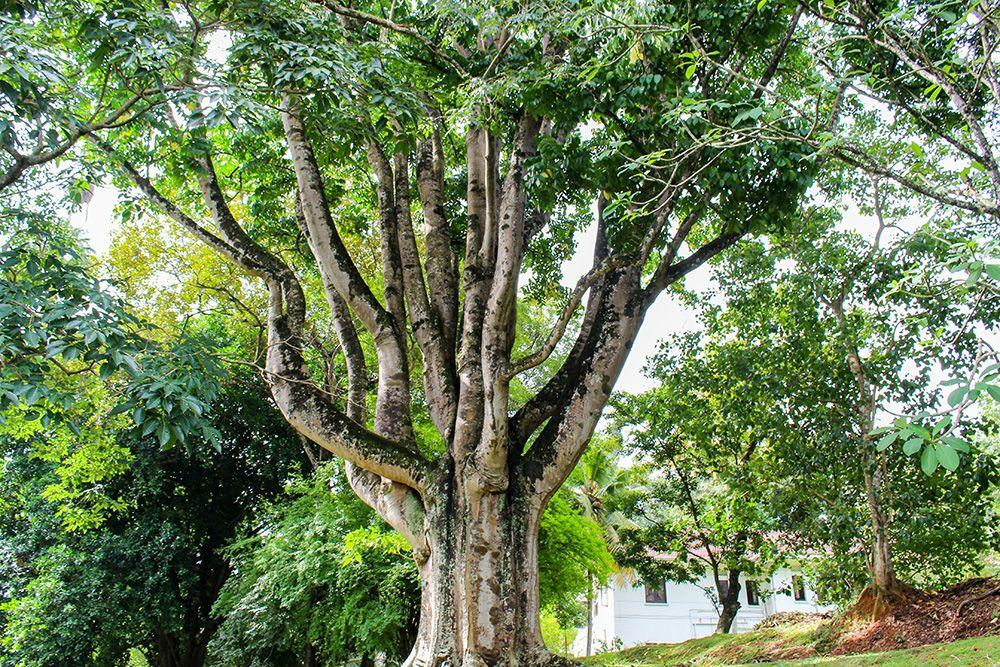 午後1時:ペラデニヤ植物園で自然に癒される
