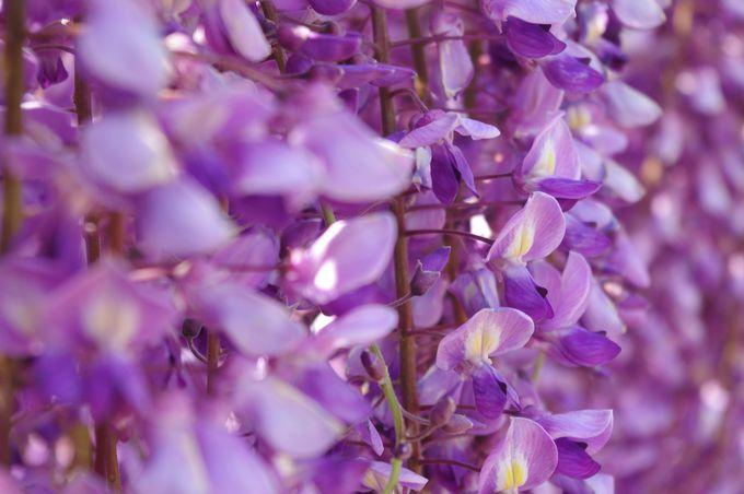 世界一美しい藤の花