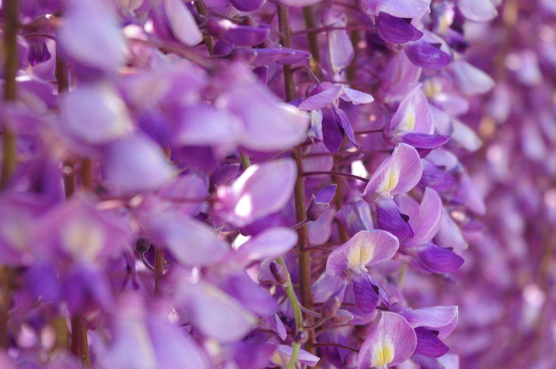 まるで夢の世界!美しい藤の魅力溢れる「あしかがフラワーパーク」