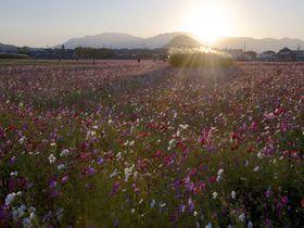 300万本が開花!藤原宮跡のコスモス畑は奈良の秋の風物詩
