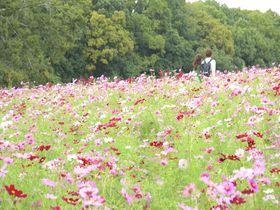 秋風吹きぬけるコスモスの丘!大阪の万博記念公園に秋の彩り