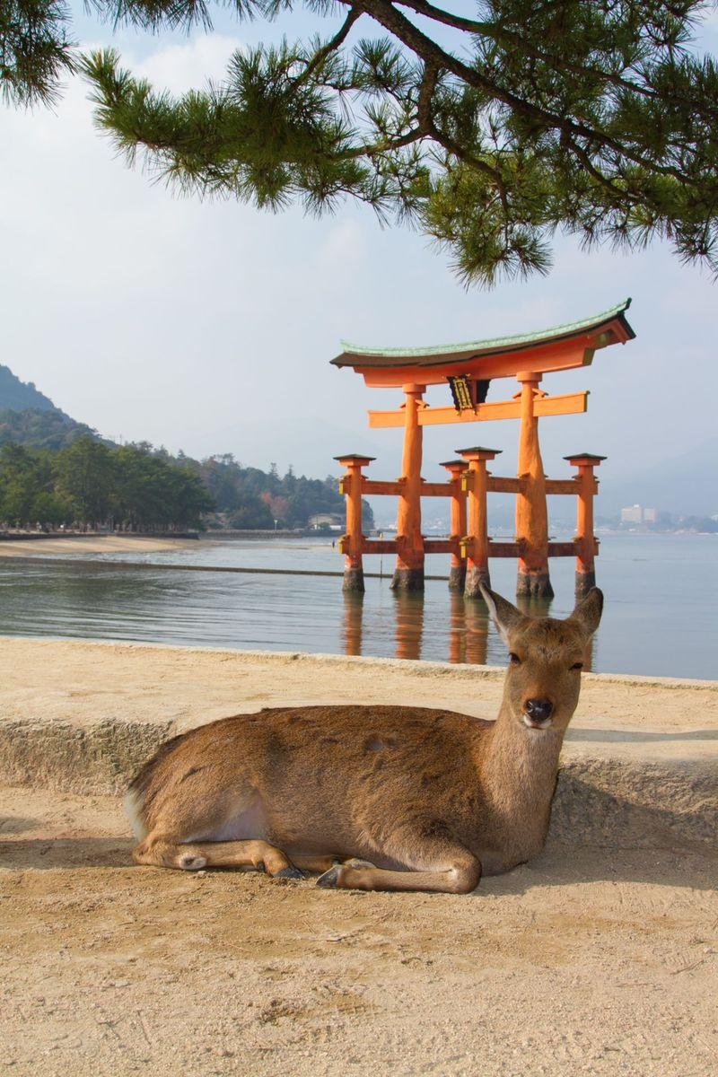 人と通じる!?お辞儀する鹿 宮島に生息する鹿5タイプを探索!