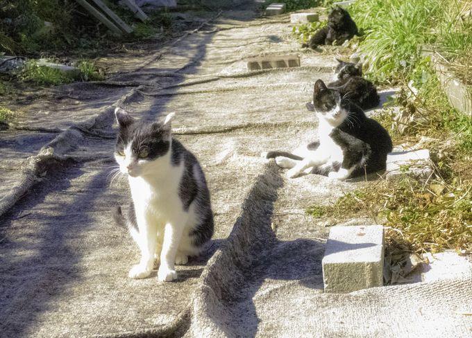 1日に400人ほどしか訪れる事が出来ないネコの島「田代島」