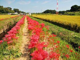 湘南で楽しむ初秋の田園風景!茅ヶ崎&藤沢「小出川彼岸花」
