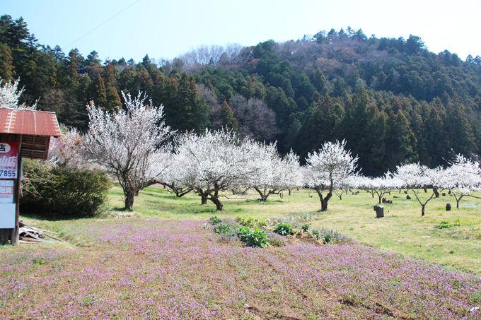 早春の越生町「越生梅林」で春の訪れを満喫