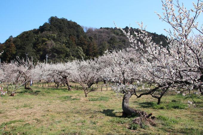 まずは千本の梅が咲き誇る梅園へ!