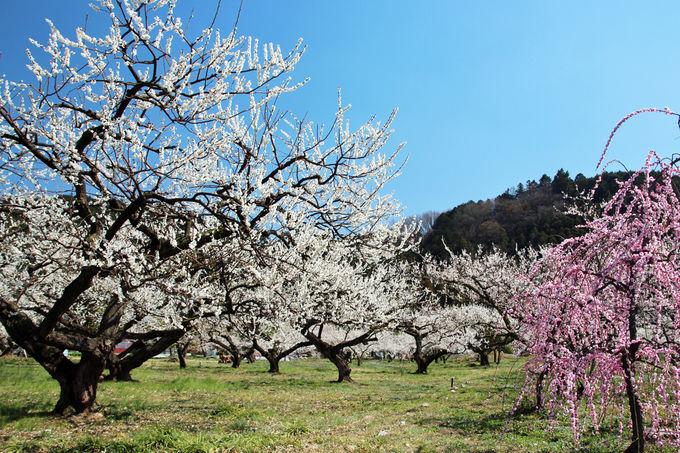 梅に包まれて歩く、早春の里山散歩