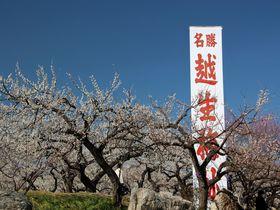千本を誇る梅園から早春の里山へ!埼玉県越生町「越生梅林」
