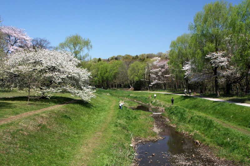 桜の大木が圧巻!河岸の桜も素敵!春の「東京都立野川公園」