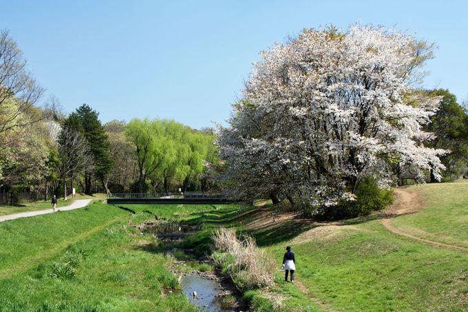 野川河岸の桜も大きい!見事な春景色を楽しもう
