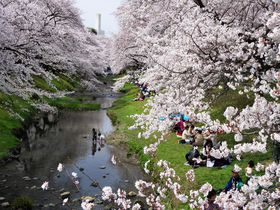 東京都立川市で絶景の桜並木!春の「根川緑道」と「残堀川」