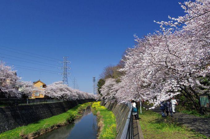 残堀川の桜並木も素晴らしい!散策の足を延ばしてみよう