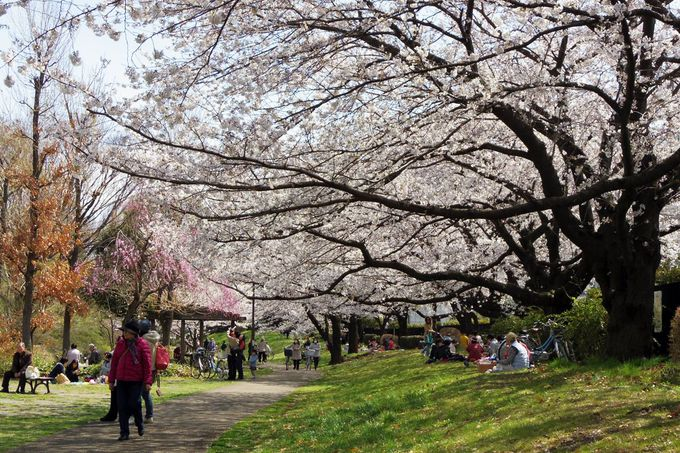 桜の下でのランチタイムに最適なCゾーン