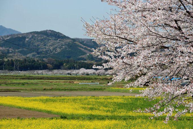 田園風景の中に弧を描く桜並木が美しい
