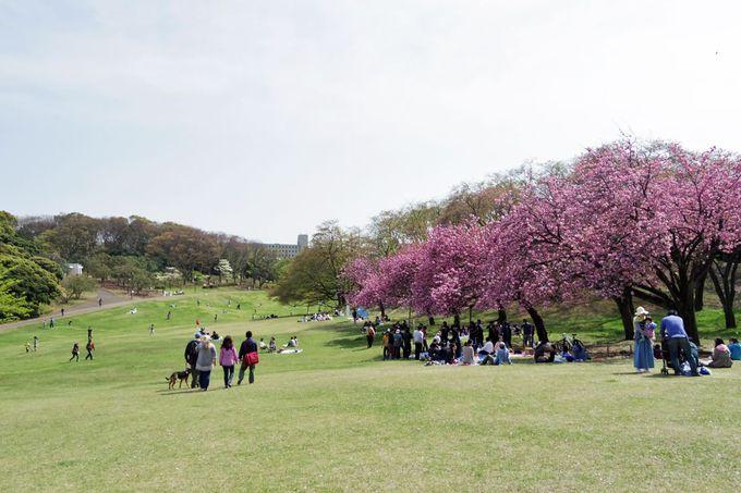 新緑の中、鮮やかな八重桜が美しい!
