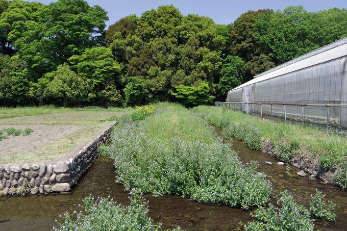 「矢川おんだし」から谷保分水を辿って散策を楽しもう