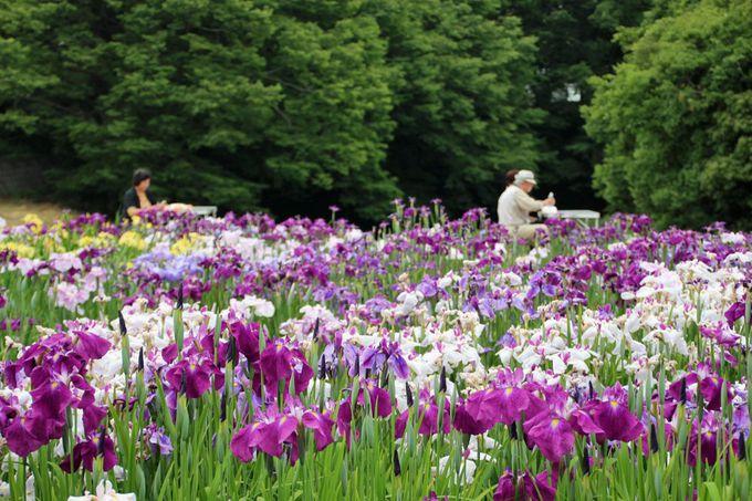 約8000株の花菖蒲が咲く、見事な花菖蒲園