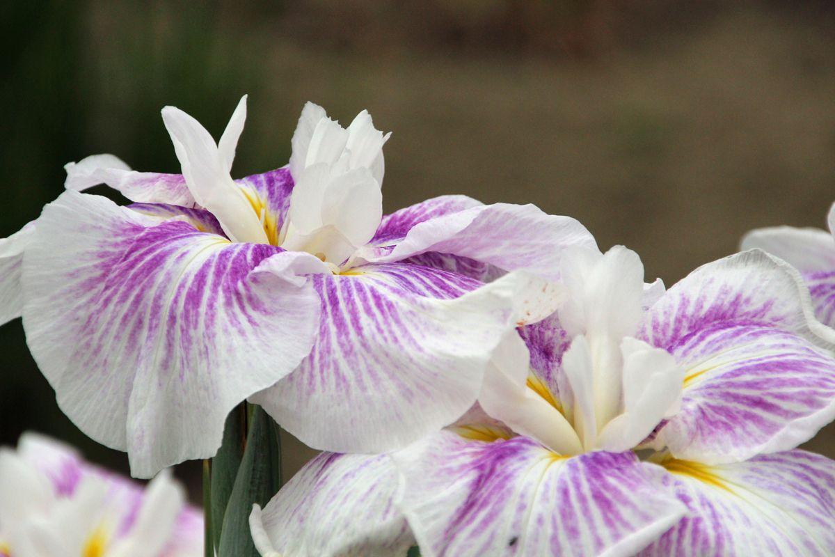 梅雨空の下、「ときがわ花菖蒲園」でこの時期ならではの景観を楽しもう