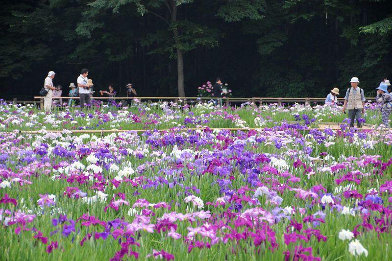 新東京百景にも選ばれた花菖蒲の名所!東村山市「北山公園」