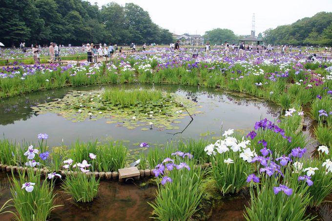 花菖蒲田に設けられた池の姿も良い風情