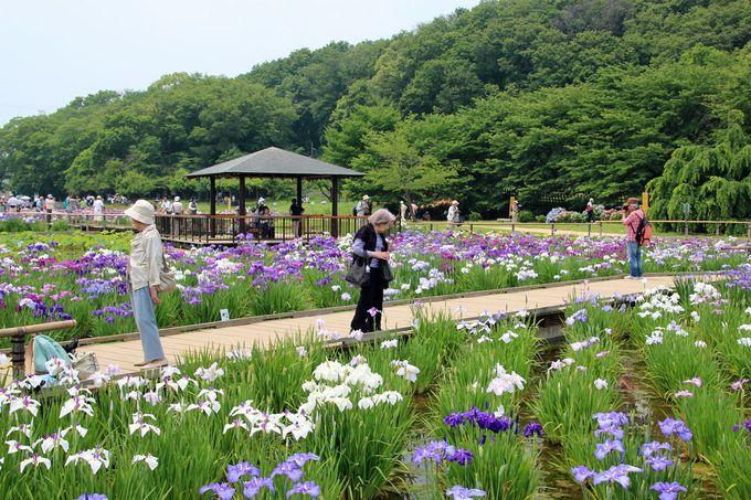 木道を辿ってゆったりと花菖蒲の咲く景観を楽しもう