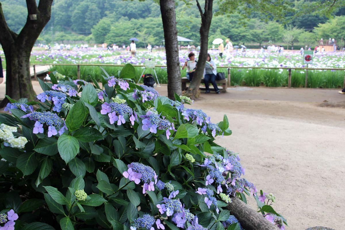 菖蒲田の外側では紫陽花も楽しめる