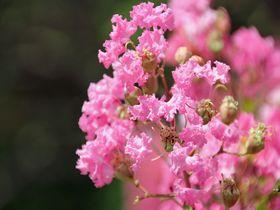 見事な百日紅が楽しめる!東京都調布市「神代植物公園」の夏