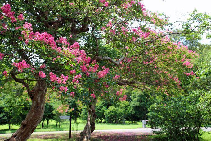 神代植物公園の百日紅は野趣溢れる姿が魅力!