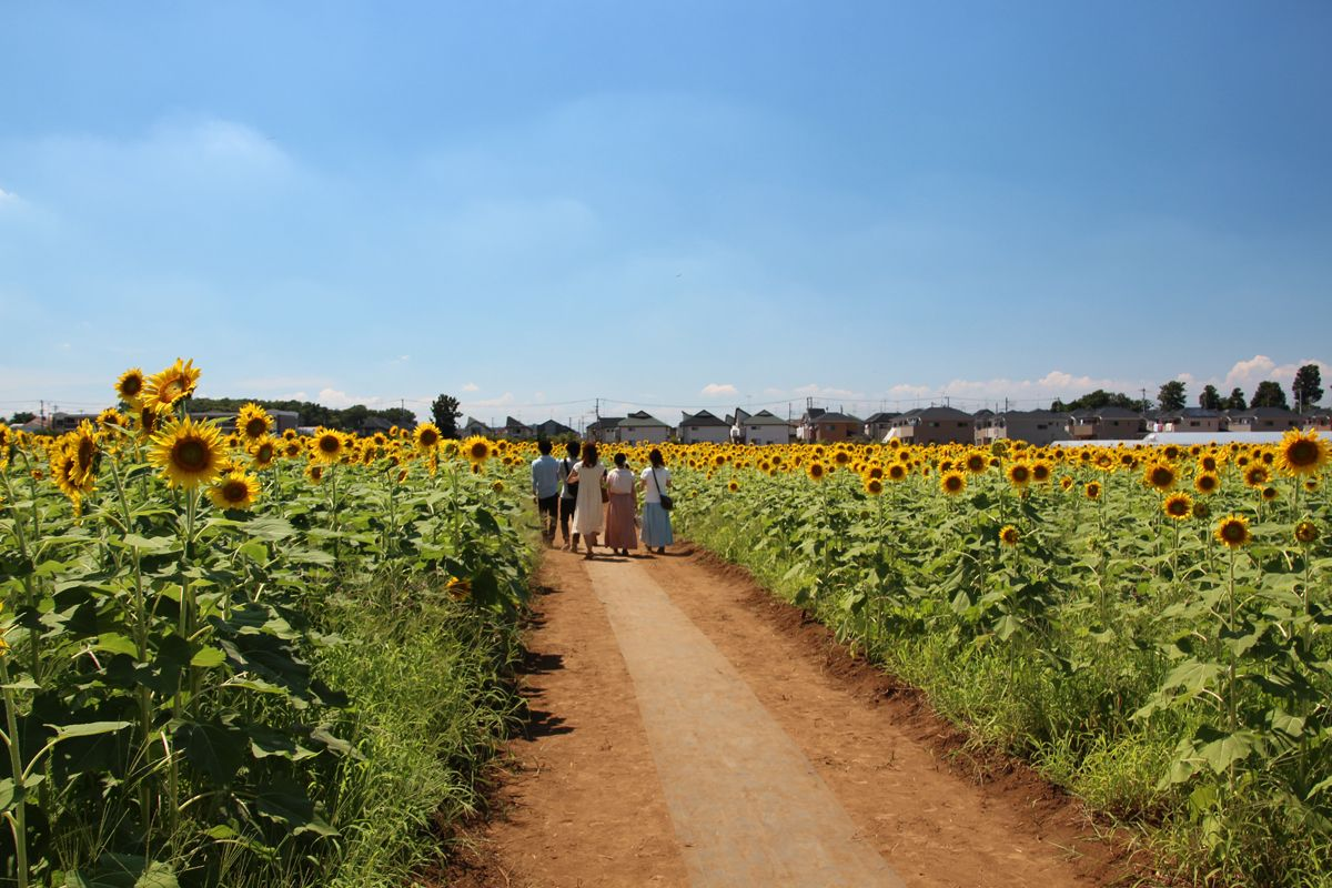 一面に咲き誇るひまわり、その見事な景観を楽しもう