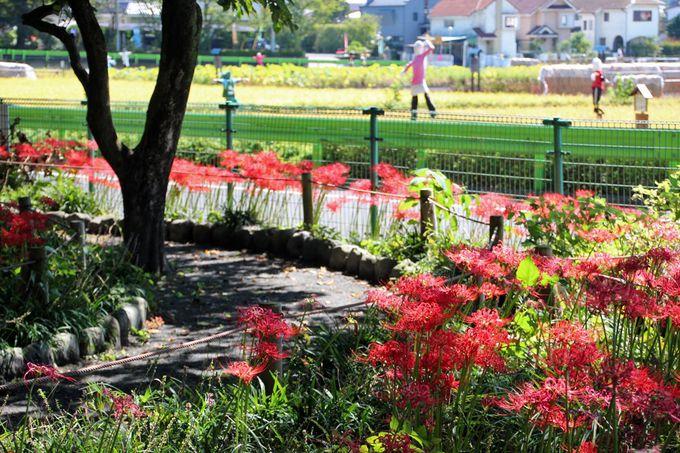 踊子草公園周辺の彼岸花は特に見応えあり!