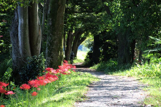 「根搦前水田」で彼岸花の咲く初秋の田園風景を堪能しよう