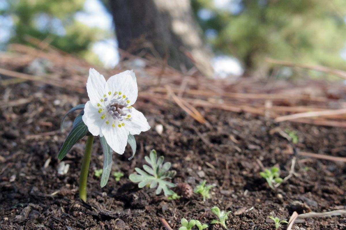 """まさに""""春告げの妖精""""、まずはセツブンソウの花を楽しもう"""