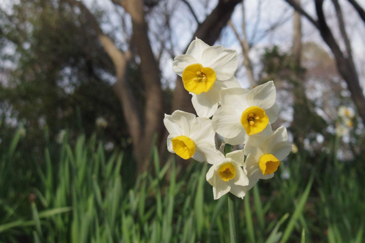 スイセンの花もそろそろ咲き始めています
