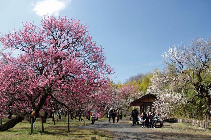 200本超の梅が咲く!「ウメ園」での観梅は至福のひととき