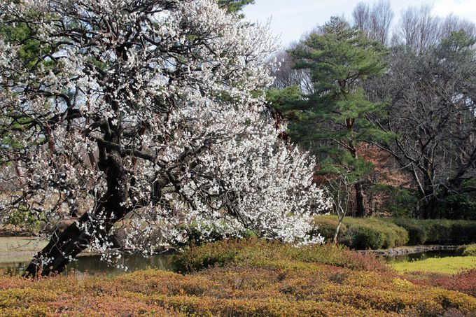 正面入口近くの池の岸辺に咲く梅も美しい!
