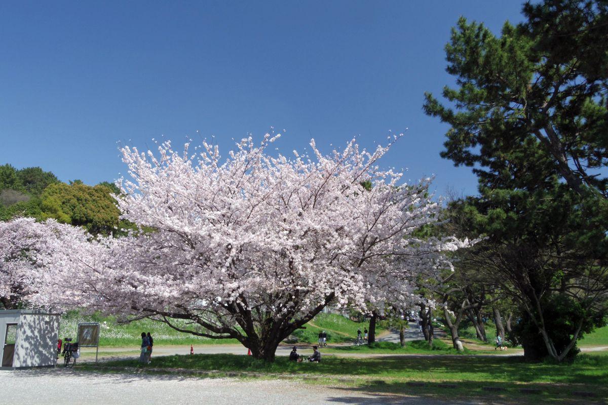 多摩川の河岸に咲く桜も必見
