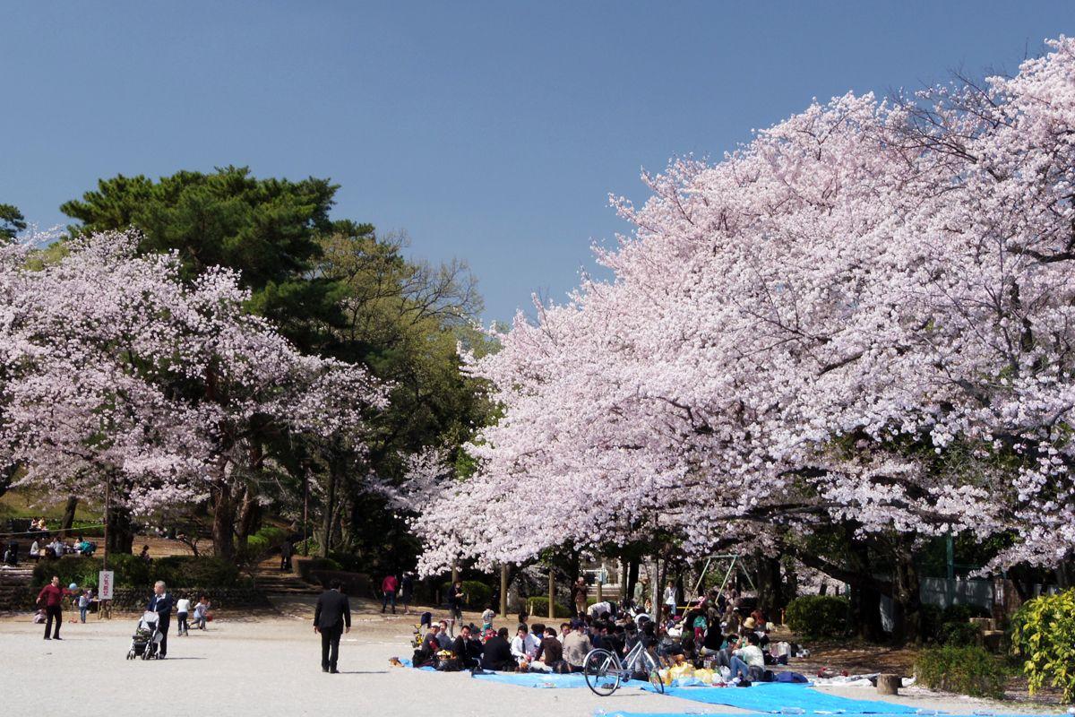 南側と北側、二つの広場で桜に包まれて花見の宴