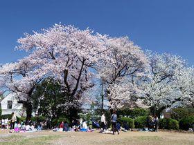 多摩川河岸で楽しむ花見散歩!東京都大田区「多摩川台公園」