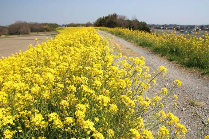 荒川堤防の菜の花も絶景!散策の足を延ばそう