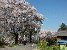 田園風景の中に1.8km続く桜並木!埼玉県「さくら堤公園」